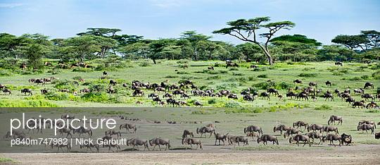 Herd of White-bearded Wildebeest