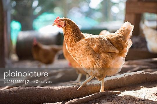 Close up of chicken on ground