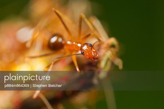 Yellow Crazy Ant