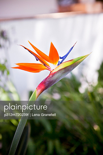 Close-up of bird of paradise flower