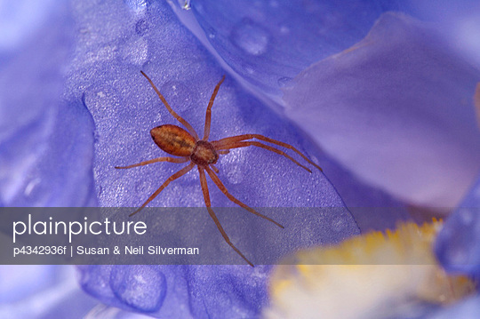 Spider In A Purple Flower