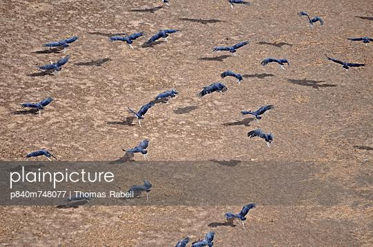 Flock of Marabou Stork, Niger