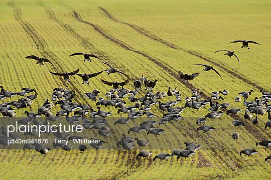 Flock of Dark-bellied brent geese feeding on crops