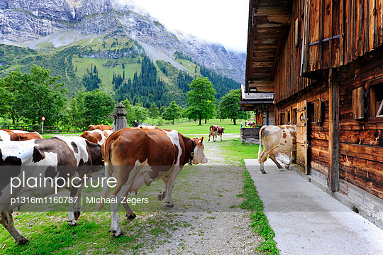 Kühe gehen zur Stall auf der Alm, Hinterriß Eng, Karwendelgebirge, Karwendel Gebirge, Nördliche Kalkalpen, Tirol, Österreich - p1316m1160787 von Michael Zegers