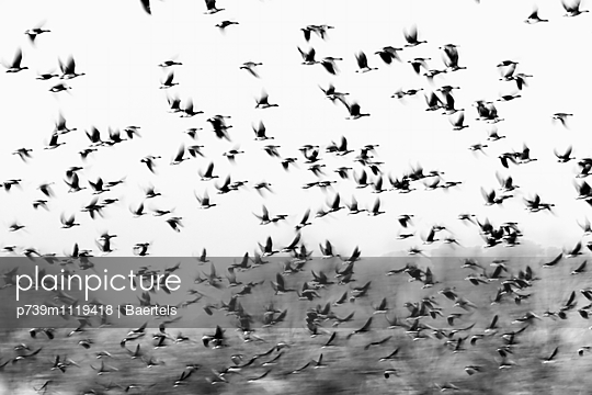 Flock of grey geese