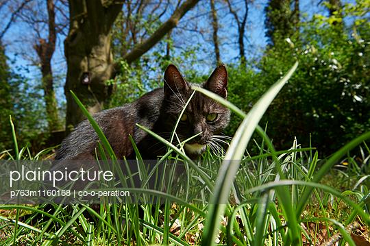 Katze sitzt in einer Wiese und schaut in die Kamera - p763m1160168 von co-o-peration