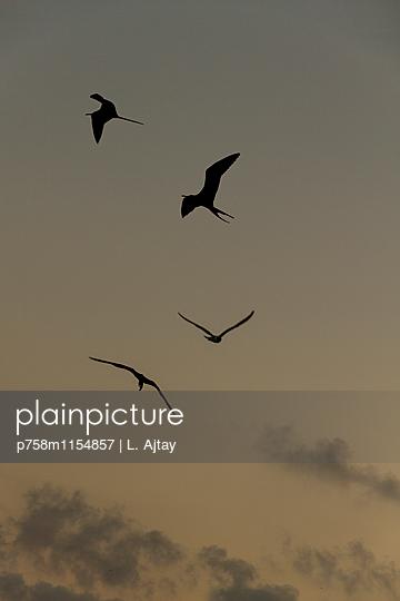 Vier Fregattvögel in der Abenddämmerung - p758m1154857 von L. Ajtay