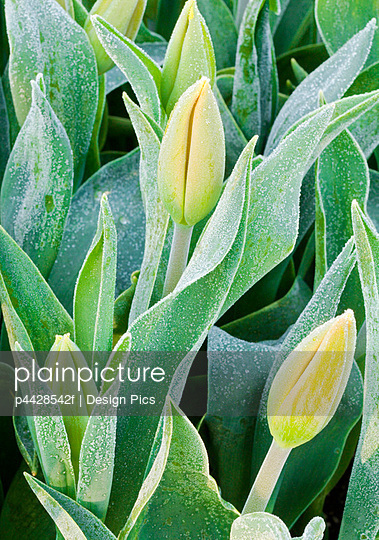 Frosted tulips