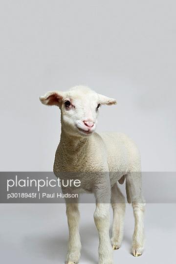 A white lamb, studio shot