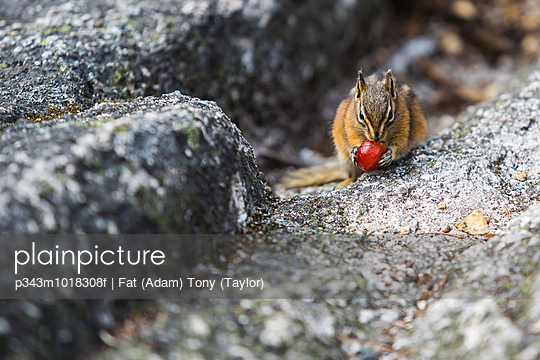 A chipmunk holding food on rocks in Squamish, Canada.