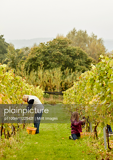 Two people picking grapes in a vineyard.