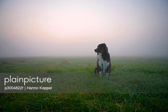 Australian Shepherd dog sitting on meadow