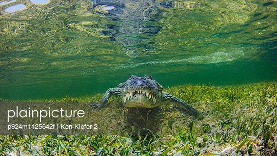 Underwater view of crocodile on reef, Chinchorro Banks, Mexico