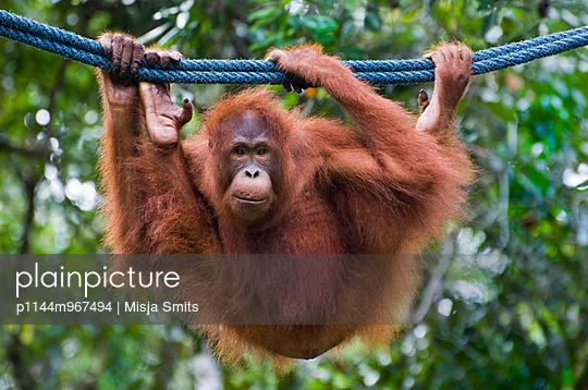 Orang-Utan in tropical rainforest in Borneo, Sarawak