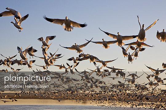 Folk of goose flying over lake