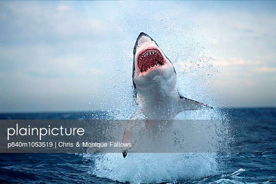 Great white shark breaching on seal decoy, False Bay, South Africa