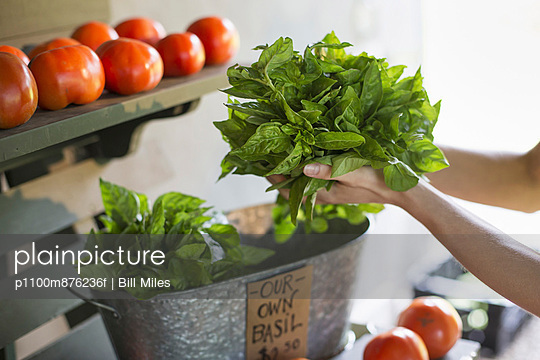 An organic fruit and vegetable farm. A person holding fresh greens salad leaves.