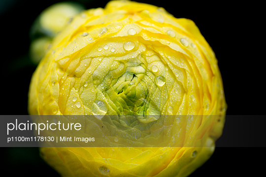 A yellow ranunculus flower bloom with tightly furled petals.