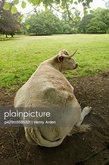 Bull resting on ground