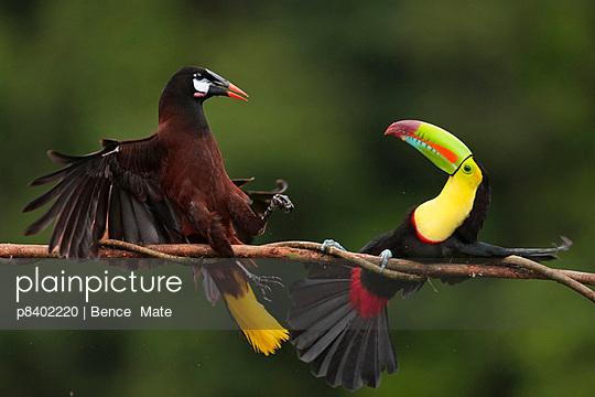 Keel-billed Toucan in aggressive encounter with a Montezuma Oropendola