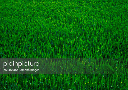 Full frame image of a wheat field.