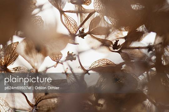 Brittle hydrangea flowers in winter