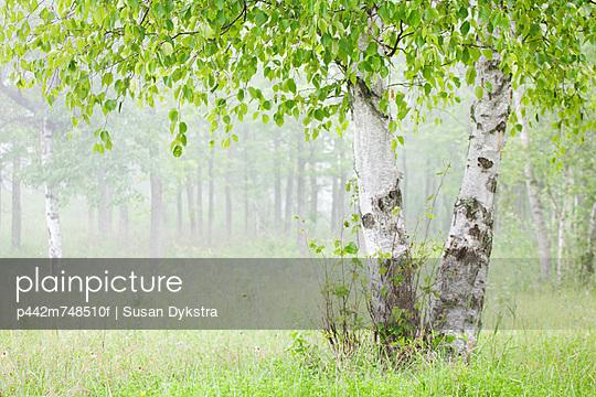 Birch Trees In Fog; Thunder Bay Ontario Canada
