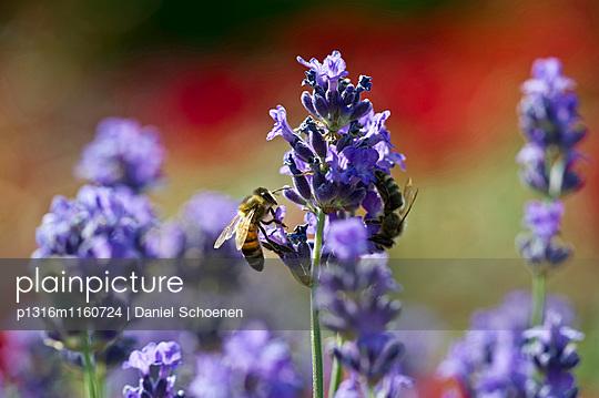 Honigbiene an Lavendelblüte, Freiburg im Breisgau, Schwarzwald, Baden-Württemberg, Deutschland - p1316m1160724 von Daniel Schoenen