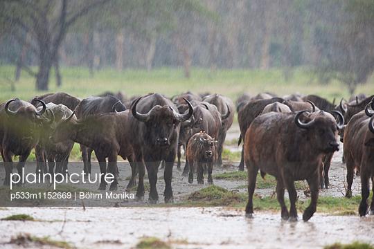 Kaffernbüffel im heftigen Regen - p533m1152669 von Böhm Monika