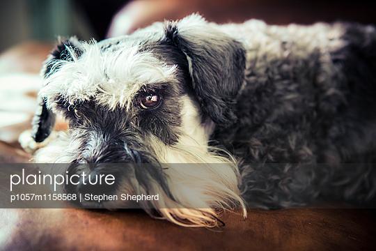 Freundlicher Hund - p1057m1158568 von Stephen Shepherd