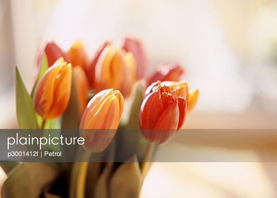 Tulip flowers; Close up