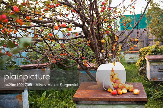 Apples on top of hive in orchard, Sarsy village, Sverdlovsk Region, Russia