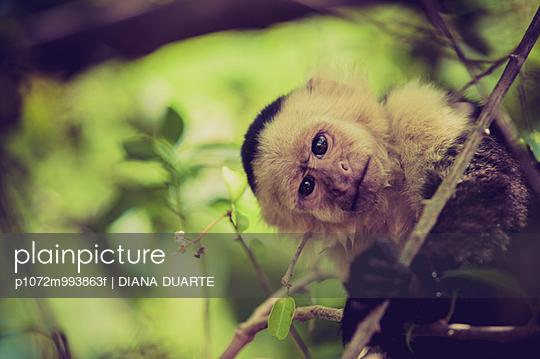 white face monkey, animal, fauna, one animal, one monkey