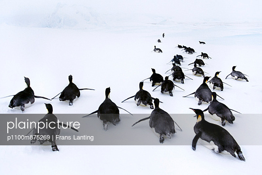 Penguins live in large colonies in the Antarctic region.