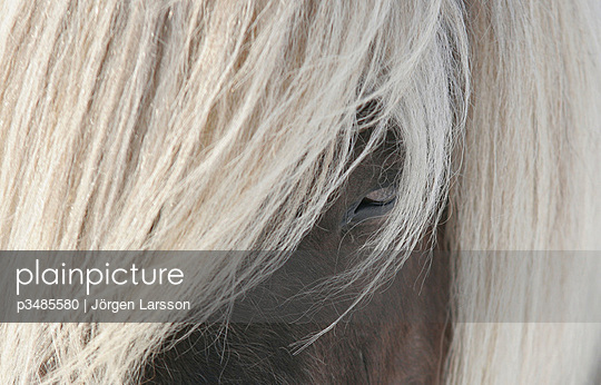 Close-up of manes of an Icelandic Horse