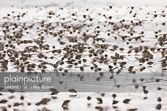 Swarms Of Western Sandpipers At Hartney Bay In The Copper River Delta Near Cordova, Alaska, During The Annual Mi During The Annual Shorebird Festival
