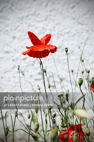 Mohnblume - p1149m1146866 von Yvonne Röder