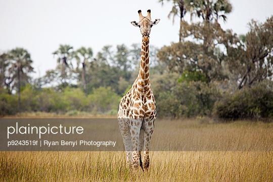 Giraffe in tall grass, Okavango Delta, Botswana, Africa