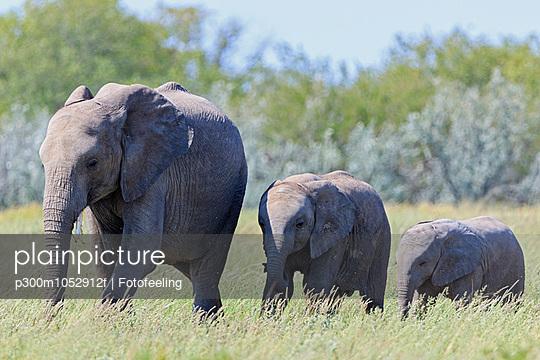 Namibia, Etosha National Park, African elephant and two elephant babies