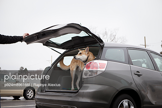 Cross bred alsatian dog in car boot