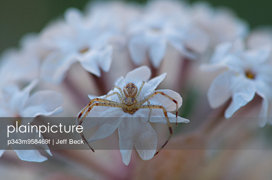 Spider on Snowball Verbena (Abronia elliptica) in Zion National Park, Utah.