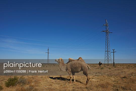 Kamel in der Steppe Kasachstans - p390m1159288 von Frank Herfort