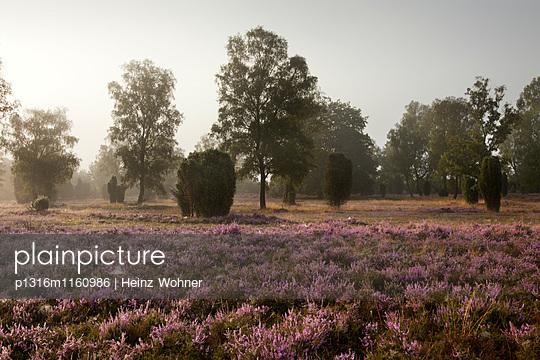 Frühnebel, Lüneburger Heide, Niedersachsen, Deutschland - p1316m1160986 von Heinz Wohner