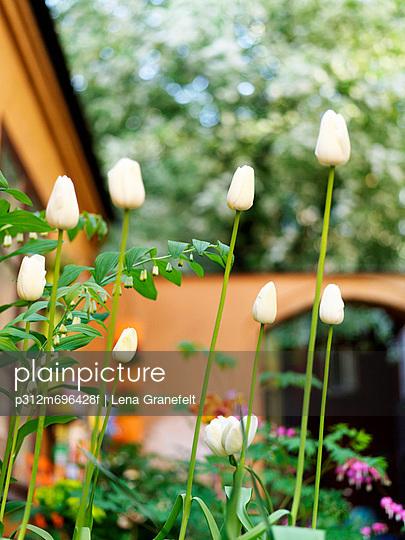 White tulips in garden