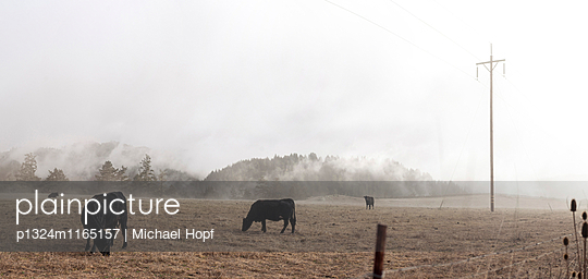 Rinder auf einer Weide im Nebel - p1324m1165157 von michaelhopf