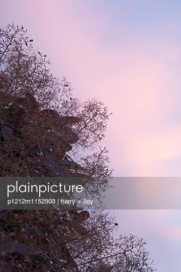 Perückenstrauch vor Abendhimmel - p1212m1152903 von harry + lidy