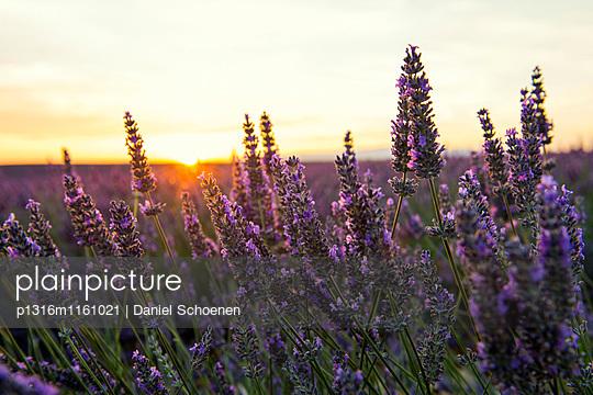 Lavendelfeld, bei Valensole, Plateau de Valensole, Alpes-de-Haute-Provence, Provence, Frankreich - p1316m1161021 von Daniel Schoenen