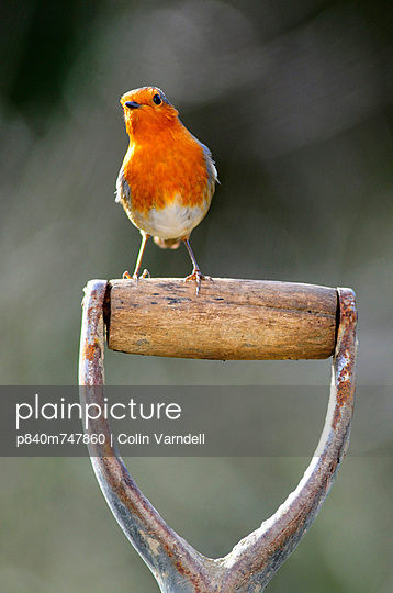 Robin perched on garden spade handle
