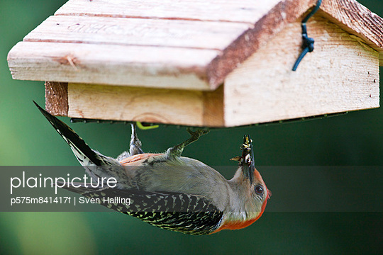 Bird with beak full of insects hanging upside down on bird house