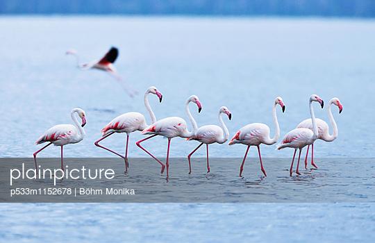 Flamingos im Gänsemarsch - p533m1152678 von Böhm Monika
